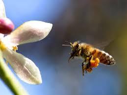 pčela (foto:freestockphotos.biz, Jon Sullivan )