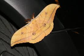 Antheraea yamamai (foto: commons.wikimedia.org, Clemens Nestroy)