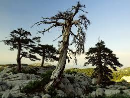 Pinus heldreichii (foto:commons.wikimedia.org, Orjen)
