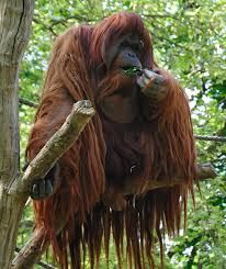 Orangutan (foto:en.wikipedia.org, David Arvidsson)