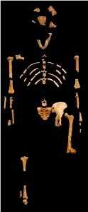 Kostur Lucy (foto: en.wikipedia.org, odljev iz Museum national d'histoire naturelle, Pariz)