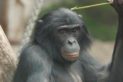 Bonobo čimpanza (foto: mpg.de)