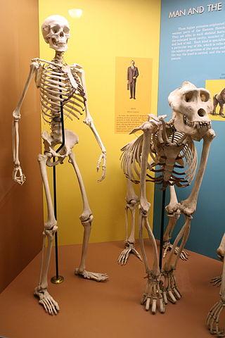 Kosturi čovjeka i gorile (foto: commons.wikimedia.org)