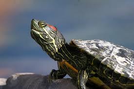 Crvenouha kornjača (foto:flickr.com)