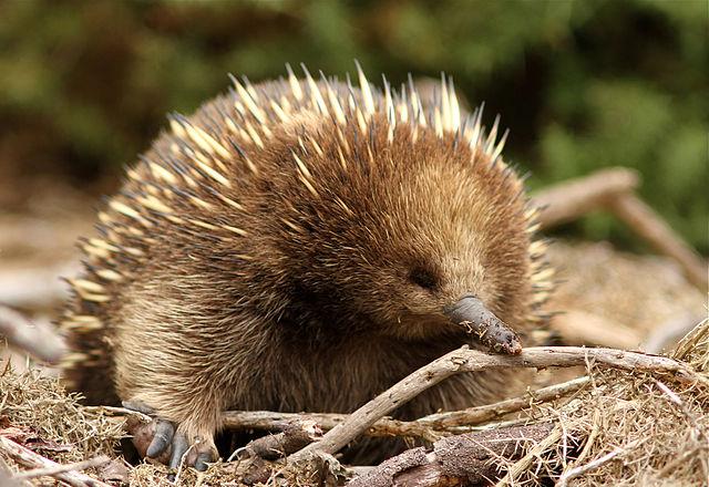 Kljunati ježak (foto: commons.wikimedia.org)