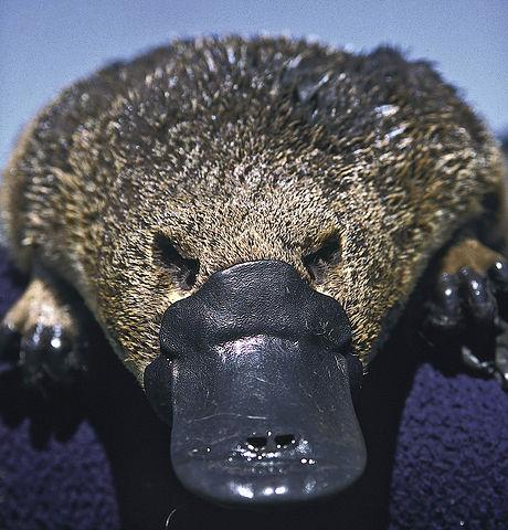 Čudnovati kljunaš (foto: commons.wikimedia.org)