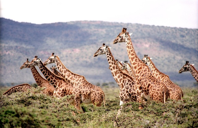 Žirafa (foto: commons.wikimedia.org)