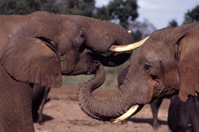 Slonovi (foto: pixabay.com)