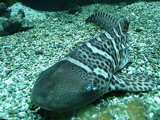 Morski pas leopard (commons.wikimedia.org)