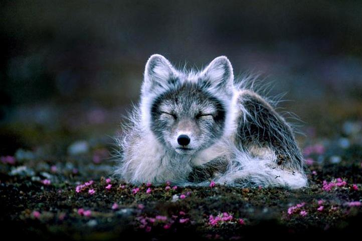 Polarna lisica (foto: commons.wikimedia.org)