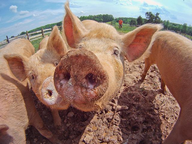 Svinje( foto: flickr.com)