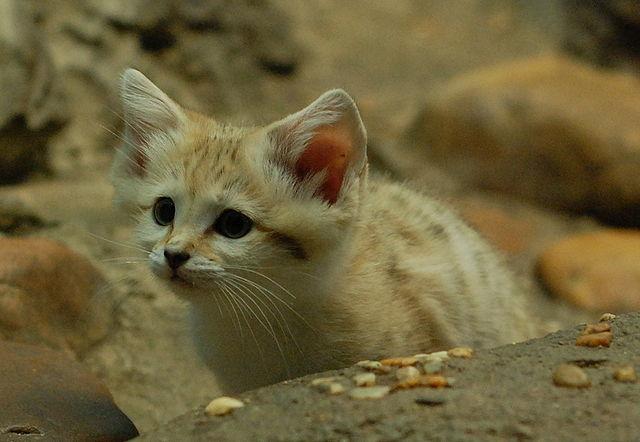 Pješčana mačka (foto: en.wikipedia.org)