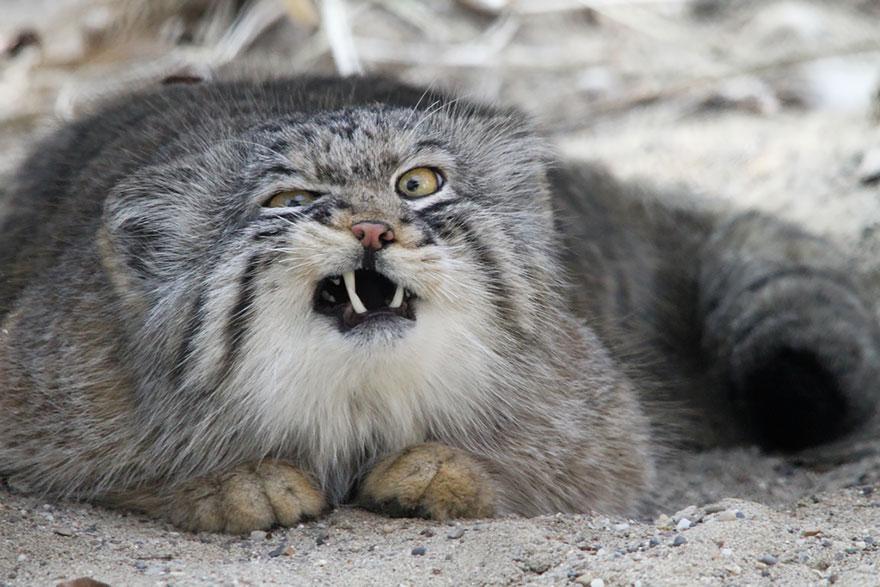 Pallasova mačka(commons.wikimedia)