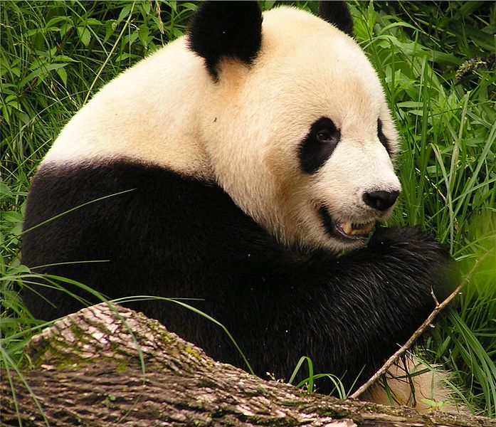 Panda (commons.wikimedia.org)