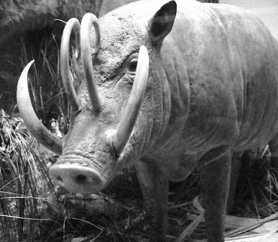 BAbirusa (en.wikipedia.org)
