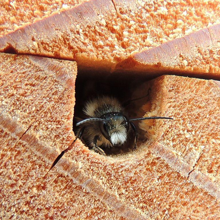 solitarna pčela (commons.wikimedia.org)