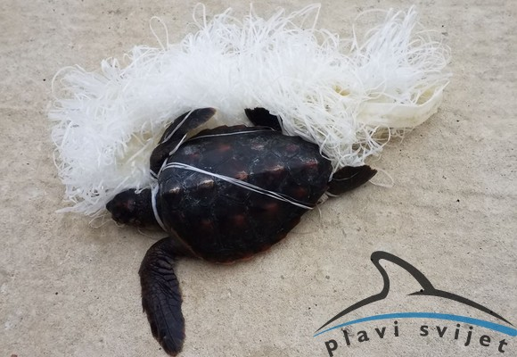 Mlada glavata želva (foto: Plavi svijet)