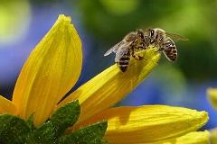 Pčele (foto: Pixabay)