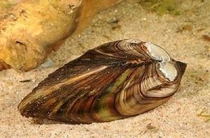 Anodonta anatina (foto: EOL)