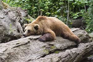 Medvjed (foto: Pixabay)