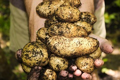 Krumpir (foto: Pixabay)