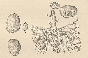 Ilustracija Carolusa Clusiusa (foto: Wikimedia Commons)