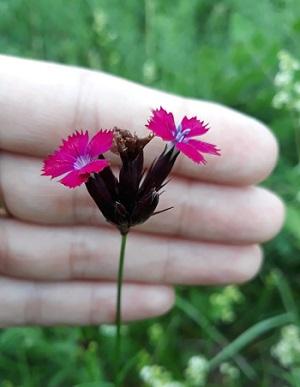 Dianthus chartusianorum (foto: S. Hodić)