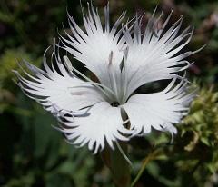 Dianthus monspessulanus (foto Wikimedia Commons)
