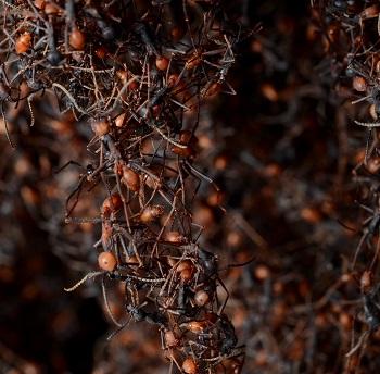 Mravlja zajednica (foto: Geoff Gallice)