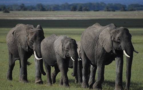 Slonovi (foto:  Alex Strachan/Pixabay)